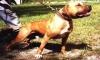 Club canino: pitbulls love