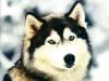 638sonia - Dogzer criador de perros