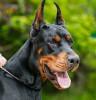 Debyrousi - Dogzer criador de perros