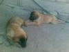 Leo297_us - Dogzer criador de perros