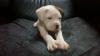 AdriixLove - Dogzer criador de perros