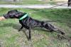 chila2014 - Dogzer criador de perros
