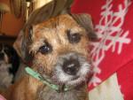 Nayou - Border Terrier (7 años)
