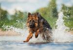 Un Berger Allemand court dans l'eau d'une rivière