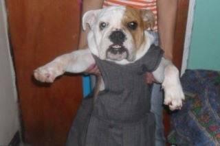 ashley - Bulldog (1 año)