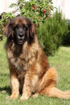 Providence 11 ans - Leonberger (11 años)