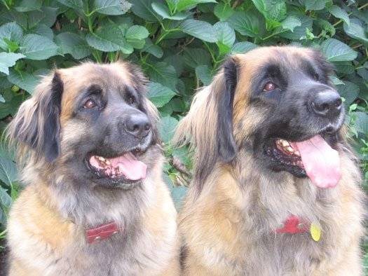 Lucas and Yoki - Leonberger