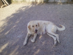 ruth - Mastín español (4 años)