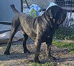 NEUTRON - Mastín italiano Macho (1 año y 10 meses)