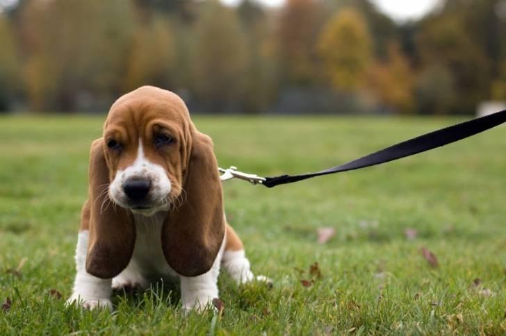 Canela - Basset Hound (9 meses)