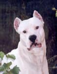 White Démon - Dogo Argentino (4 años y medio)