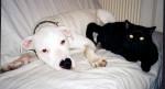 Chat et chien - Dogo Argentino
