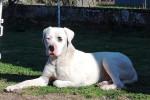 Narco - Dogo Argentino Macho (2 años)