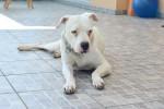 Foto Dogo Argentino