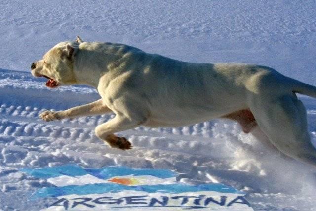 Gladia - Dogo Argentino Macho (1 año)