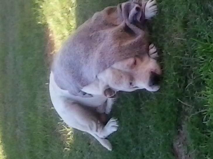 branco :3 - Dogo Argentino Macho (6 años)