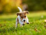 Foto Jack Russell terrier