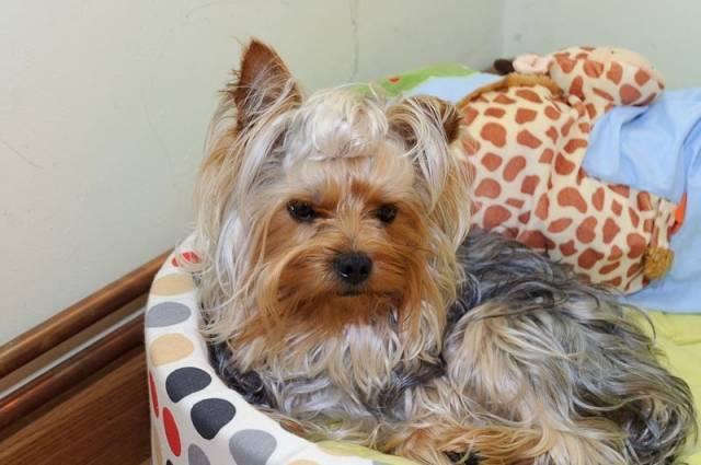 yakie - Yorkshire terrier Macho (2 años)