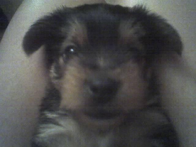 Goofy - Yorkshire terrier Macho (1 mes)