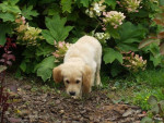Perro golden retriever/bébé de luky et théa - Golden Retriever  (Acaba de nacer)