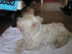 U2, westie - West Highland white terrier