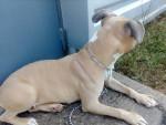 Jaya - American Staffordshire Terrier (3 años)