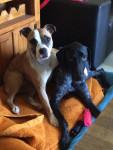 Iron et Kiera - American Staffordshire Terrier (3 años)