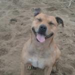 ???????? - American Staffordshire Terrier Macho (10 años)