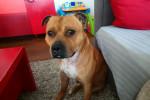 Malcom - American Staffordshire Terrier (3 años y 1 mes)