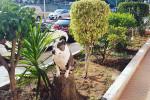 Amira - American Staffordshire Terrier (4 años)