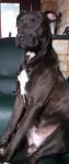 Zeus - American Staffordshire Terrier Macho (11 meses)