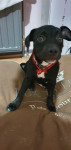 Lolly - American Staffordshire Terrier (6 meses)