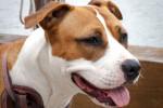 Foto American Staffordshire Terrier