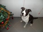 Perro Rash - American Staffordshire Terrier Macho (12 años)