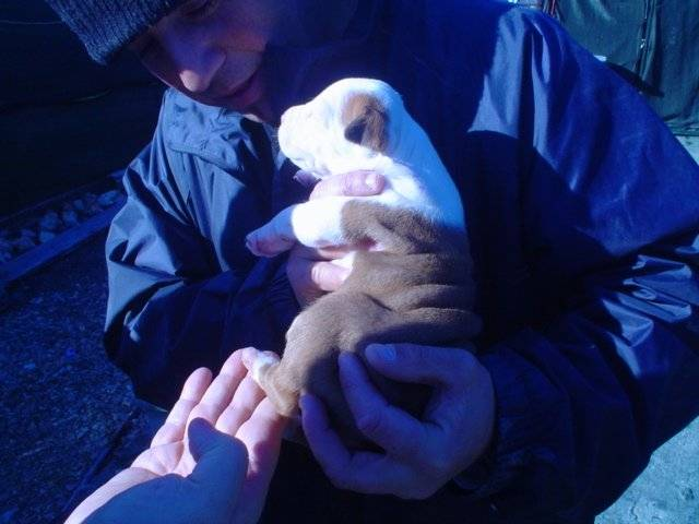 Dako cachorrete - American Staffordshire Terrier Macho (1 mes)