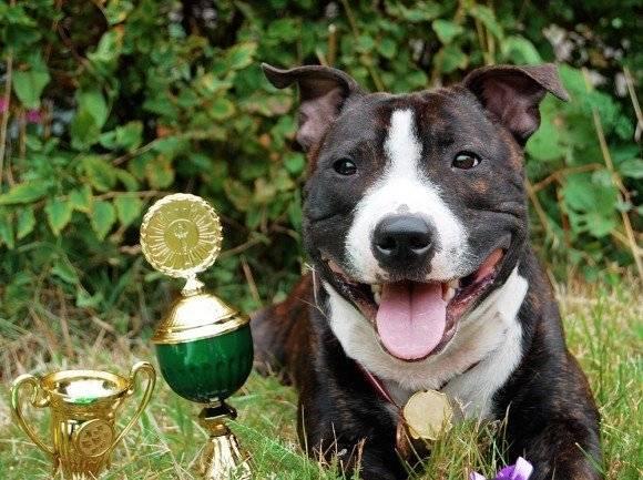 Calypso - American Staffordshire Terrier Macho (1 año)
