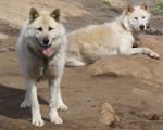 Foto Perro de Groenlandia