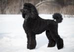 Un Caniche Royal noir debout dans la neige