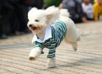 Un Caniche avec un pull vert et blanc
