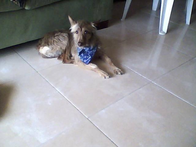 rosa - Podenco Canario (4 años)