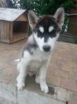 BUDDHA - Husky siberiano Macho (3 meses)