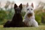Un Scottish Terrier blanc et un Scottish Terrier noir assis côte à côte