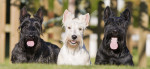 Foto Terrier escocés