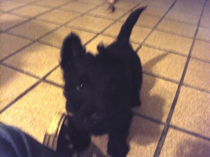 Ikki - Terrier escocés Macho (4 meses)