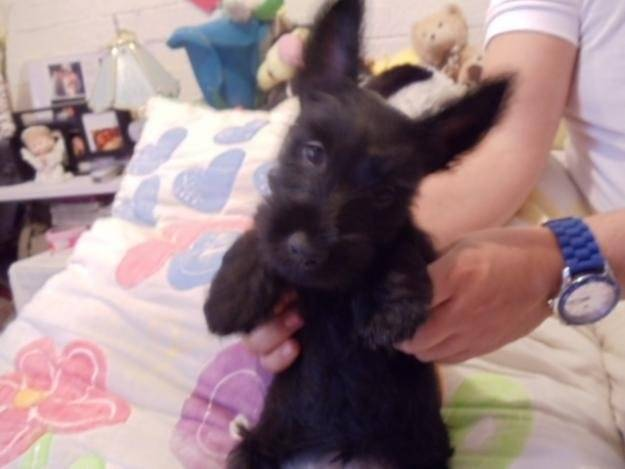 Tom - Terrier escocés Macho (4 meses)