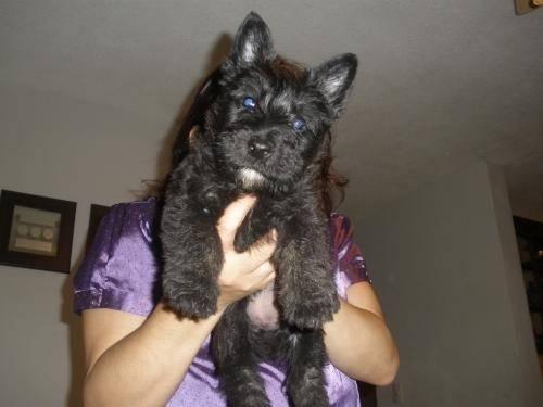 Tomy - Terrier escocés Macho (4 meses)