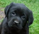 Perro Frimousse  - Labrador Macho (2 meses)