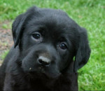 Frimousse - Labrador Macho (2 meses)