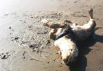 Perro Philippo Feliz - Labrador Macho (10 meses)