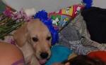 Perro Philippo Feliz - Labrador Macho (3 meses)